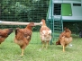 The Nutfield Church Primary Chickens